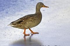 2012_01_01_duck