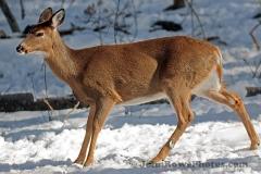 2012_02_19_deer