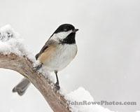 Chickadee On Fresh Snow