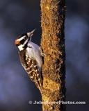 Hairy Woodpecker 1/3/12