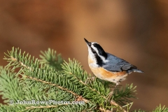 Red-breasted Nuthatch Horizontal