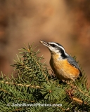 Red-breasted Nuthatch Vertical