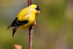 2010_4_26_Goldfinch-2