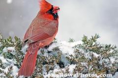2012_01_31_cardinal1