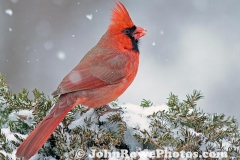 2012_01_31_cardinal2