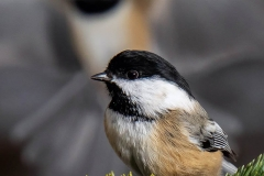 Chickadee X Two